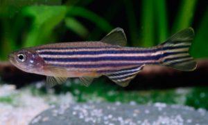 Imagen de un pez cebra en la que se aprecian sus características franjas azules longitudinales sobre el color plateado de base